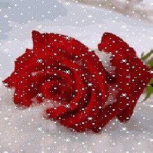 snowy_rose